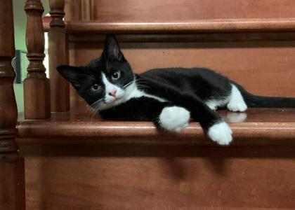 Oreo- Kitten