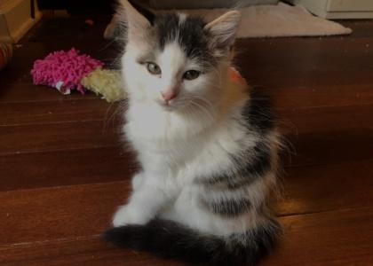 Betty Boop-Kitten