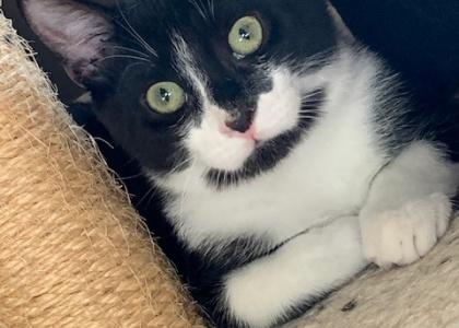 Bennie-Kitten