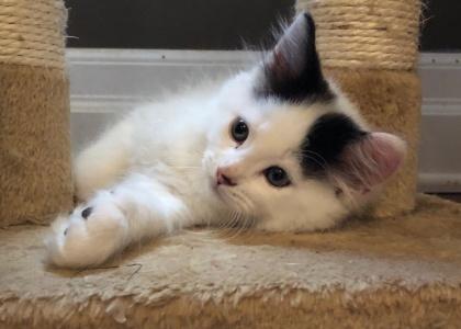 Blizzard-Kitten