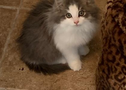 Bentley-Kitten