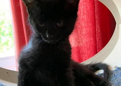 Solstice-Kitten