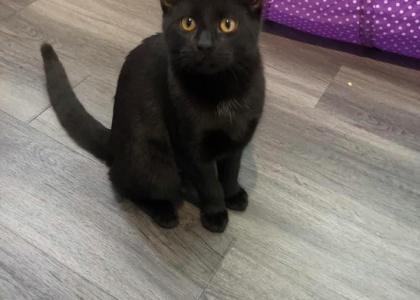 Ophelia- Kitten