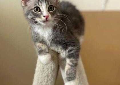 Pierce-Kitten