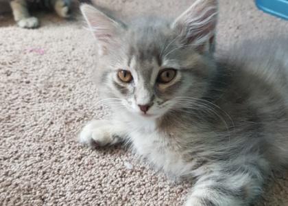 Smokey- Kitten