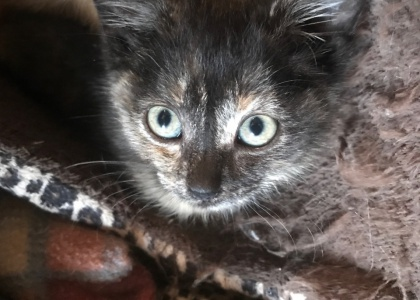 Amber-Kitten