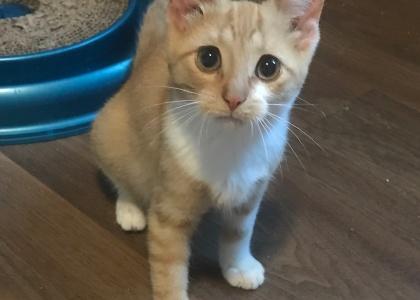 Honey-Kitten