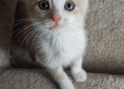 Poohbear-Kitten