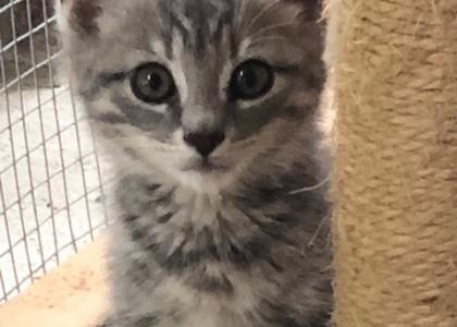 Nibbles-Kitten