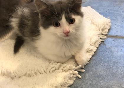 Gabriel-Kitten