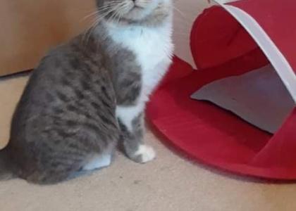 Milo- Kitten