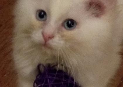 Ellie- Kitten