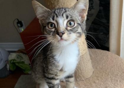 Tiger-Kitten