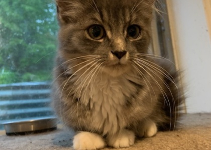 Bonnie- Kitten