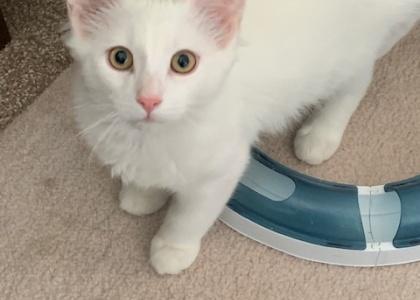 Beau- Kitten