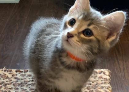 Jackson-Kitten