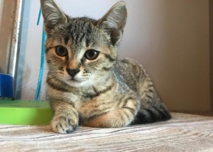 Sansa-Kitten