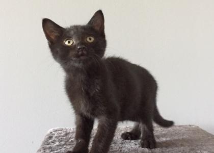Salem-Kitten