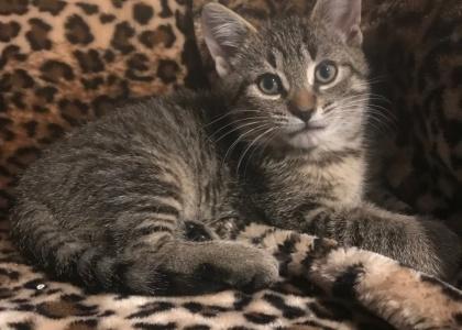 Dash-Kitten