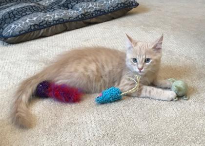 Dewey- Kitten