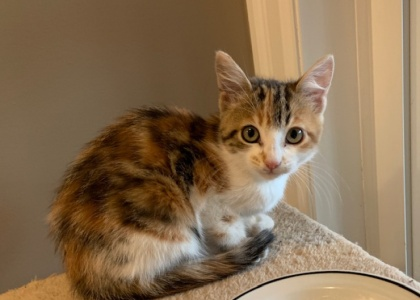 Belle- Kitten