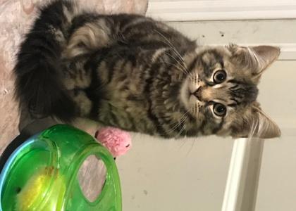 Sawyer-Kitten