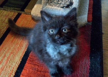 Pebbles-Kitten