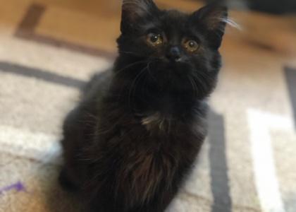 Cassie- Kitten