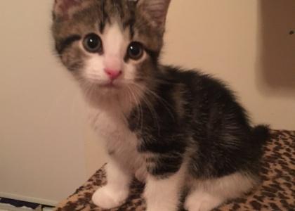 Cappucino-Kitten