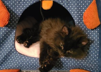 Muffin- Kitten