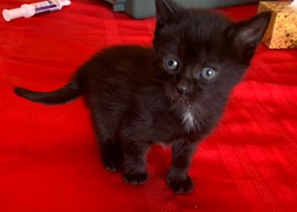 Licorice-Kitten