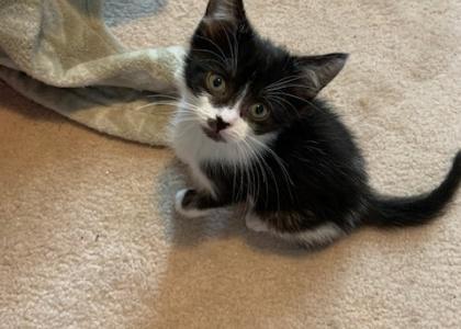 Casey- Kitten