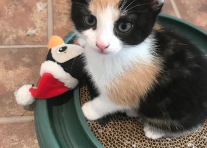 Mopsy-Kitten