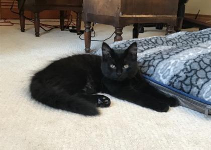 Lou Lou- Kitten