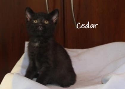 Cedar-Kitten