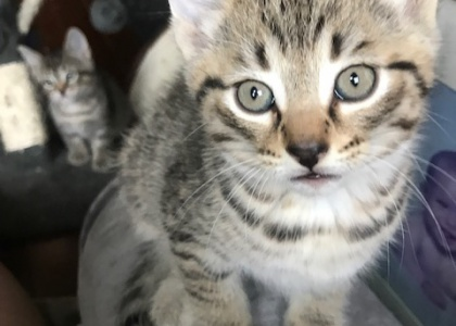 oh Henry-Kitten