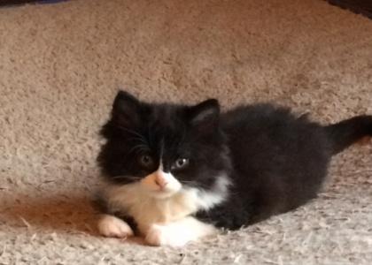 Jordache-Kitten