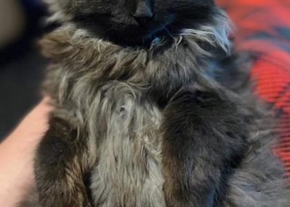 Leia- Kitten