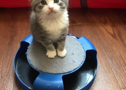 Cotton-Kitten