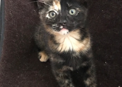 Gonzo-Kitten