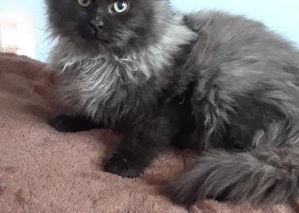 Rey- Kitten