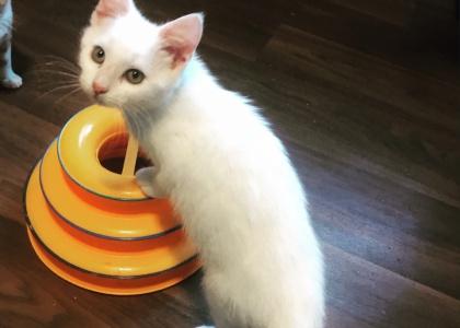 Sugar-Kitten