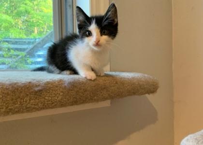 Olive- Kitten