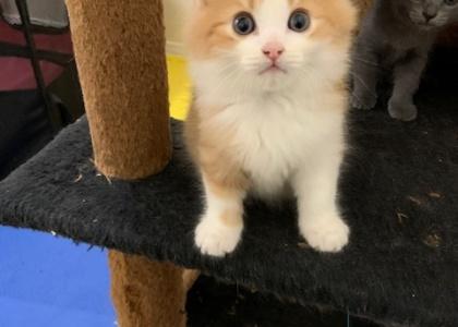 Cyprus-Kitten