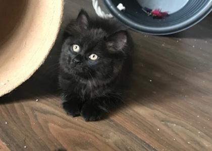 Maverick-Kitten