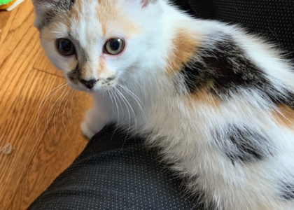 Blossom- Kitten