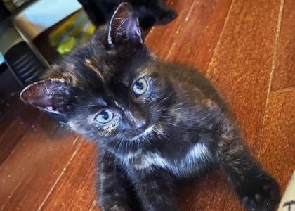 Lola- Kitten