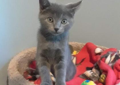 KitKat- Kitten