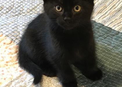 Buckwheat-Kitten