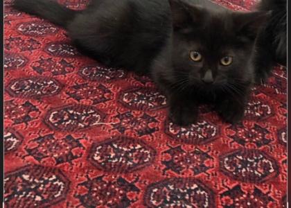 Lexus- Kitten